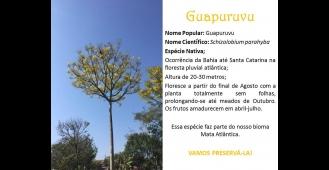 Guapuruvu